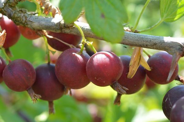 Orus-8 Gooseberry
