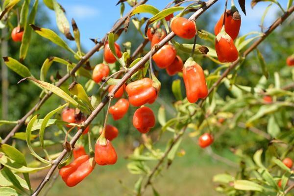 Crimson Star Wolfberry or Goji