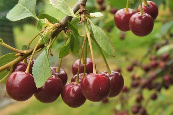 Black Gold Sweet Cherry