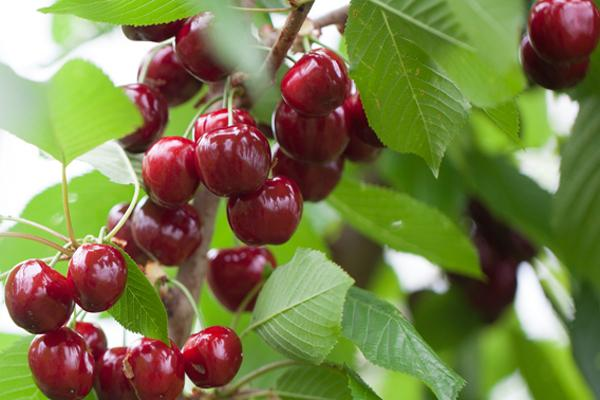 Early Burlat Sweet Cherry