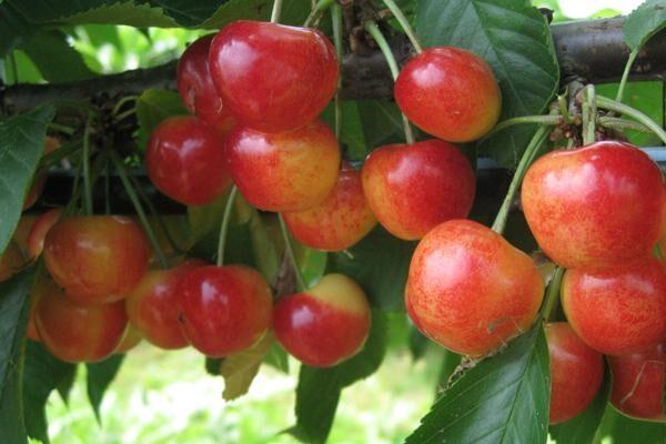 Rainier Sweet Cherry