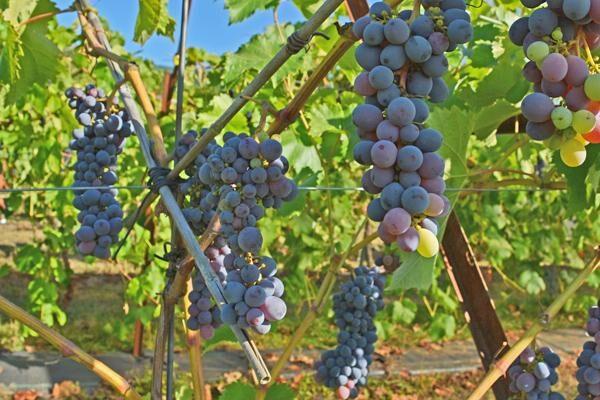 Faith Table Grape