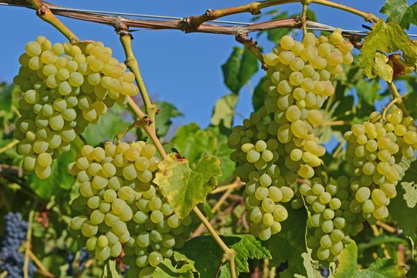 Hope Table Grape