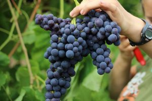 JupiterTable Grape