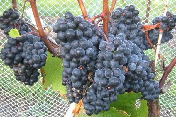 Golubok Wine Grapevine