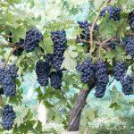 Garanoir Wine Grapevine
