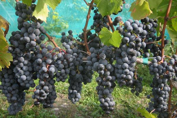 Regent Wine Grapevine