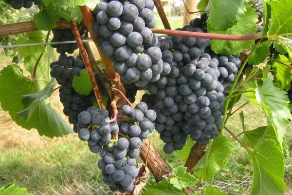 Rondo Red Wine Grapevine