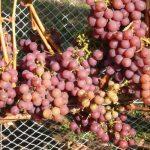 Siegerrebe Wine Grapevine