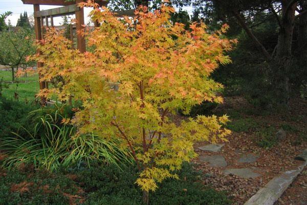 Beni Kawa Coral Bark Maple