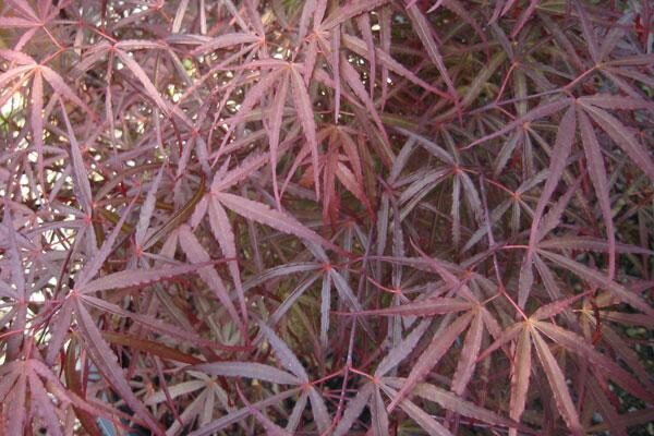 Hubb's Red Willow Maple