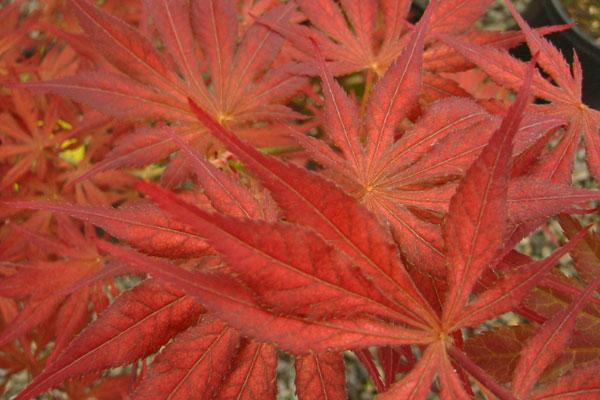 Will's Devine Japanese Maple