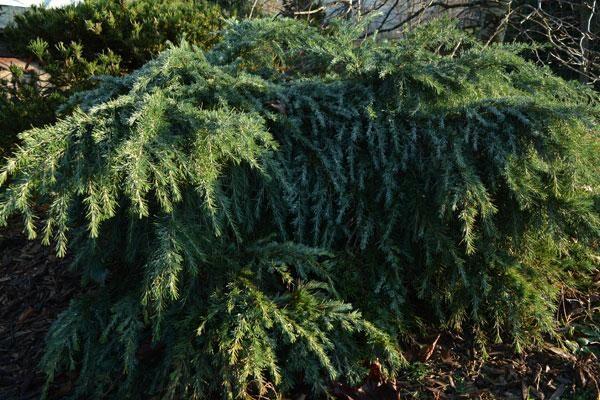 Feeling Blue Deodar Cedar