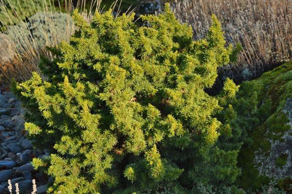 Green Prince Lebanon Cedar
