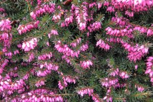 Kramer's Red Winter Heather