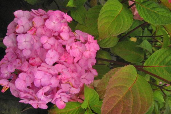 Pink Beauty Lacecap Hydrangea