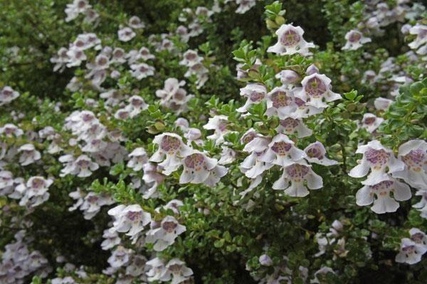 Alpine Bush Mint