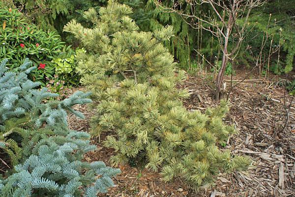 Golden Jap. White Pine