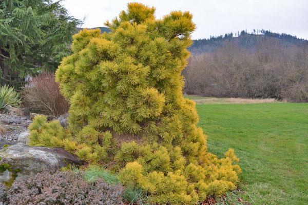 Golden Scots Pine