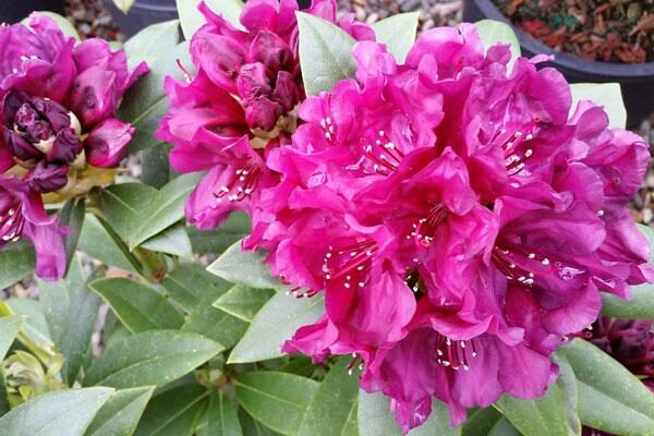 Rhododendron Polarnacht Cloud Mountain Farm Center Nursery