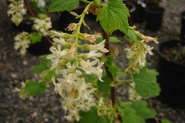 Hannamans white flowering currant cloud mountain farm center hannamans white flowering currant mightylinksfo