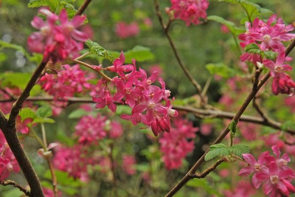King Edward Flowering Currant