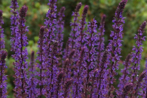 Caradonna Flowering Sage