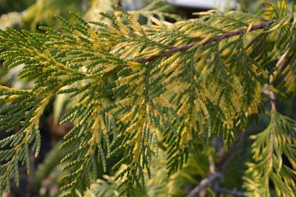 Zebrina Western Red Cedar