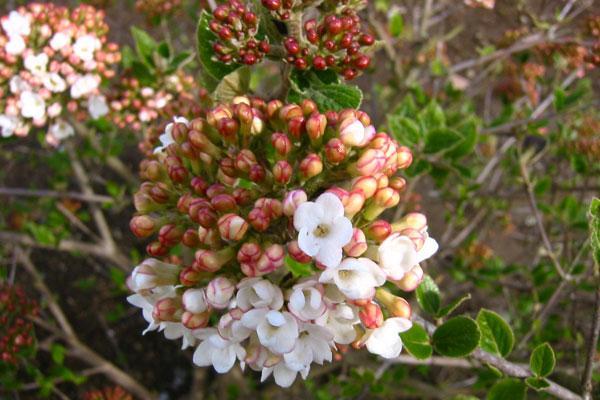 Aurora Spice Viburnum