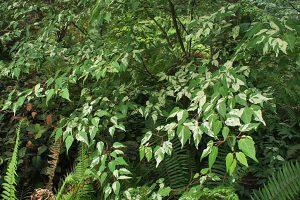 Variegated Hawthorne Maple