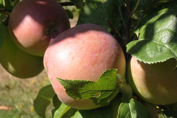 Beni Shogun Fuji Apple