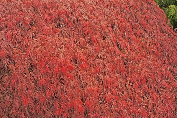 Garnet Laceleaf Japanese Maple