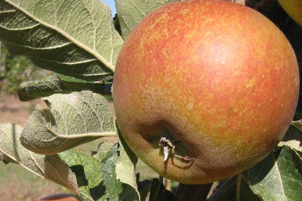 Queen Cox Apple Tree