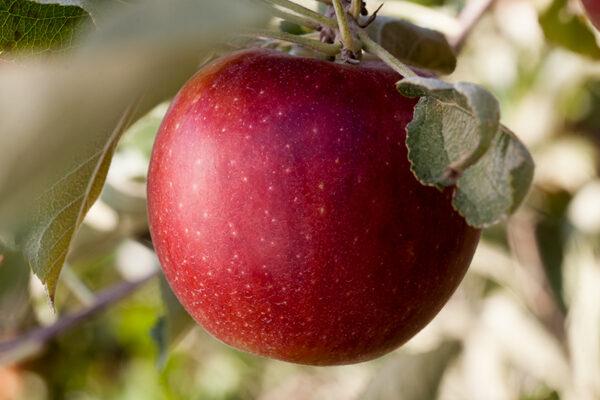Tsugaru Homei Apple Tree