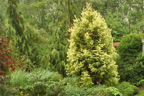Sekkan Suji Japanese Cedar