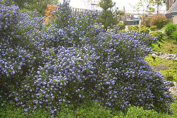 Victoria California Wild Lilac