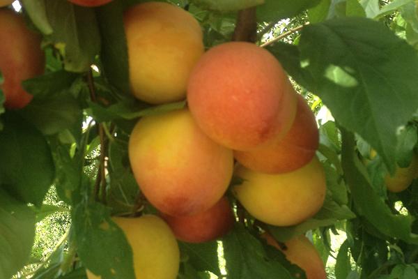 Peach Japanese Plum