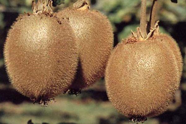 Saanichton Kiwi - female