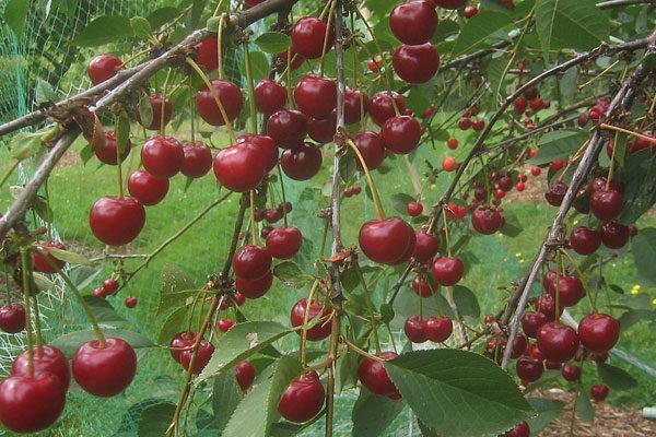 Morello Tart Cherry