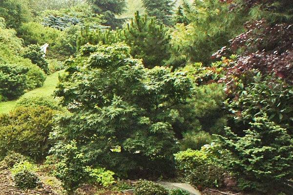 Mikawa Yatsubusa Dwarf Maple Cloud Mountain Farm Center