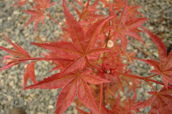 Otame Zakura Japanese Maple