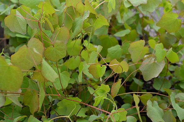 Vancouveria foliage