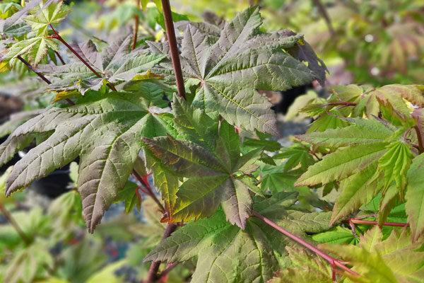 Burgundy Jewel Vine Maple