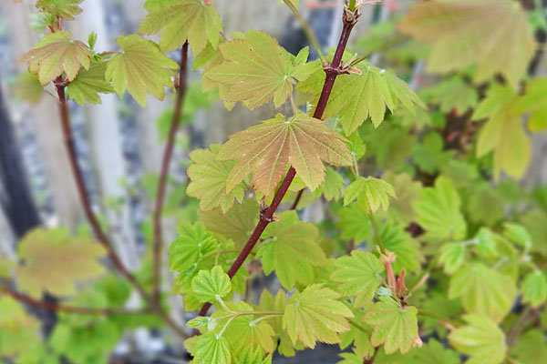 Del's Dwarf Vine Maple