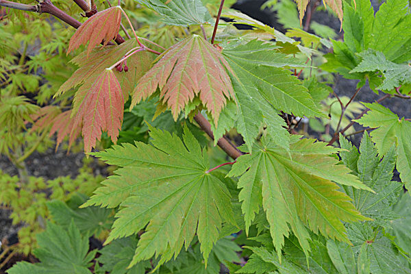 Otaki Japanese Maple Cloud Mountain Farm Center Nursery