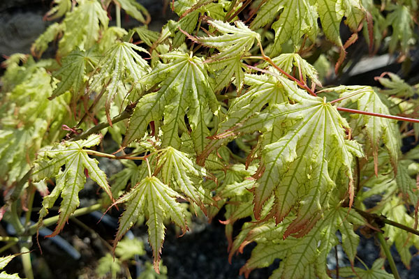 First Ghost Japanese Maple