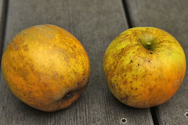 Golden Russett Apple