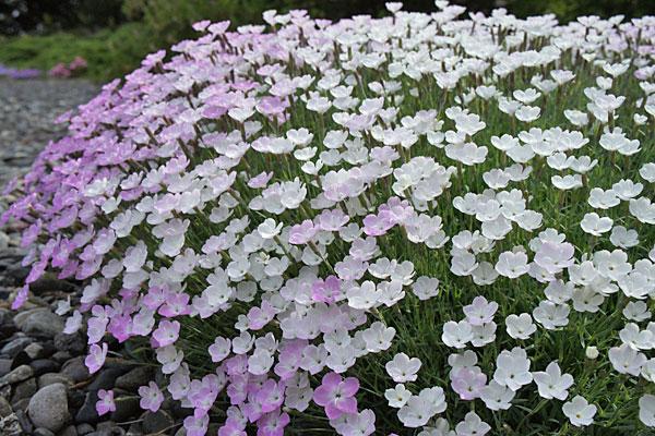 Nyewood Cream Dianthus