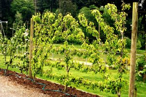 Grow a Fruiting Wall: Espalier and Beyond- Session 1