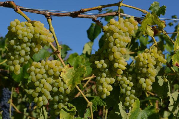 Gratitude Table Grape